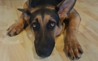 Saps si el teu gos ha contret la Leishmaniosi? Ara és el moment d'esbrinar-ho