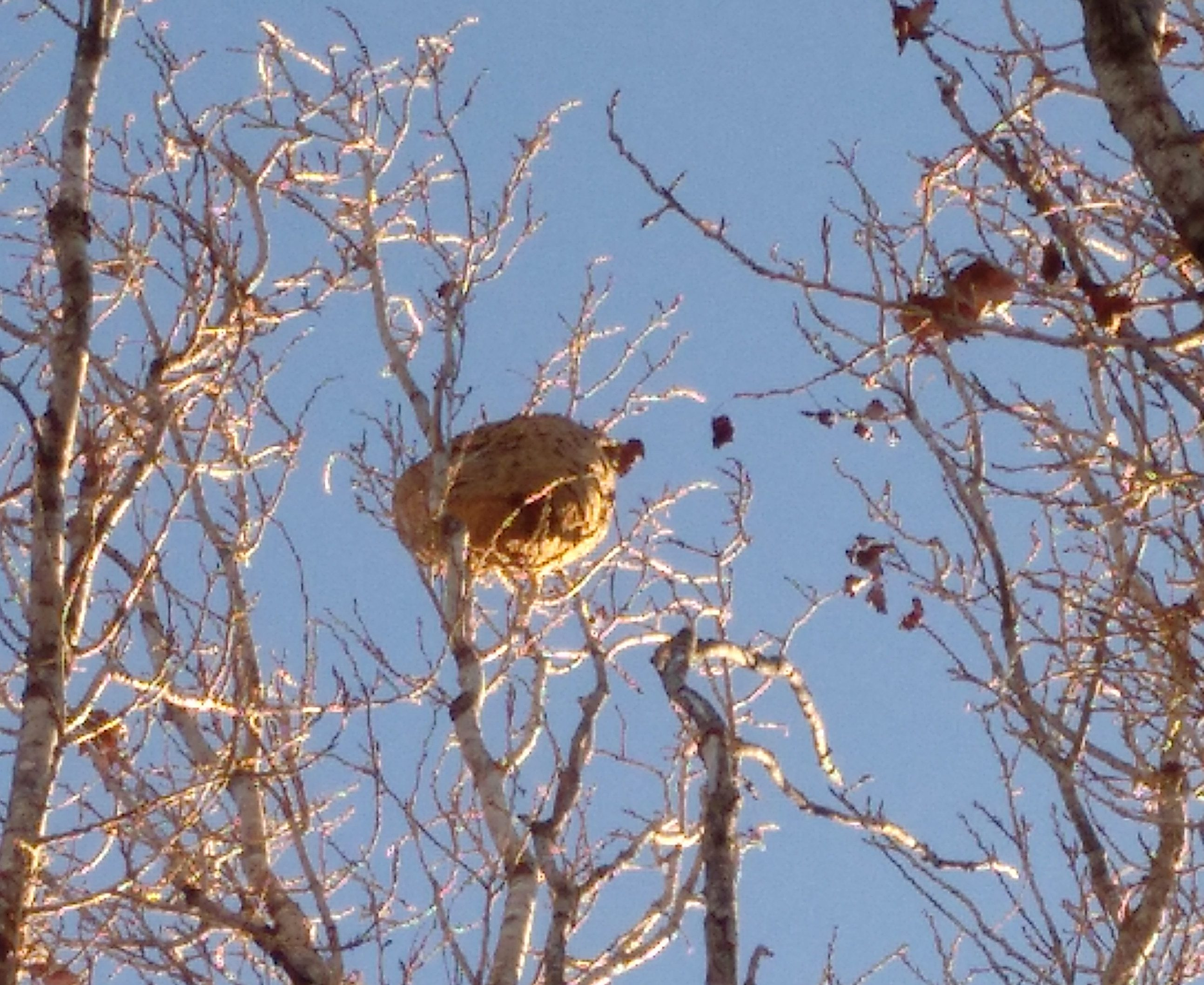 Vesper a dalt d'un arbre al carrer 2 del Turó de Sant Pau | Jaume Sarramona