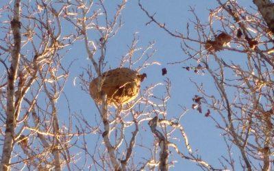 FOTODENÚNCIA | Queixa d'un veí per un gran niu de vespes al Turó de Sant Pau