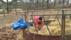 trying to get hold of the hay