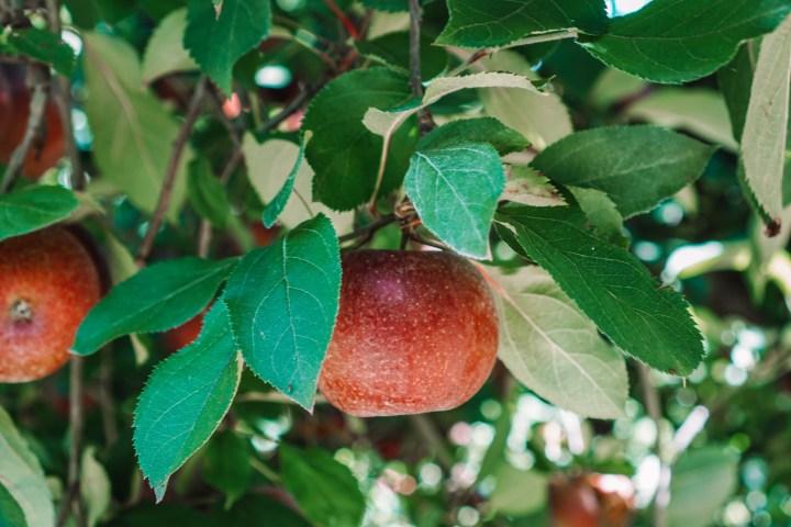 apple picking this fall in Ellijay, the apple capital of Georgia!