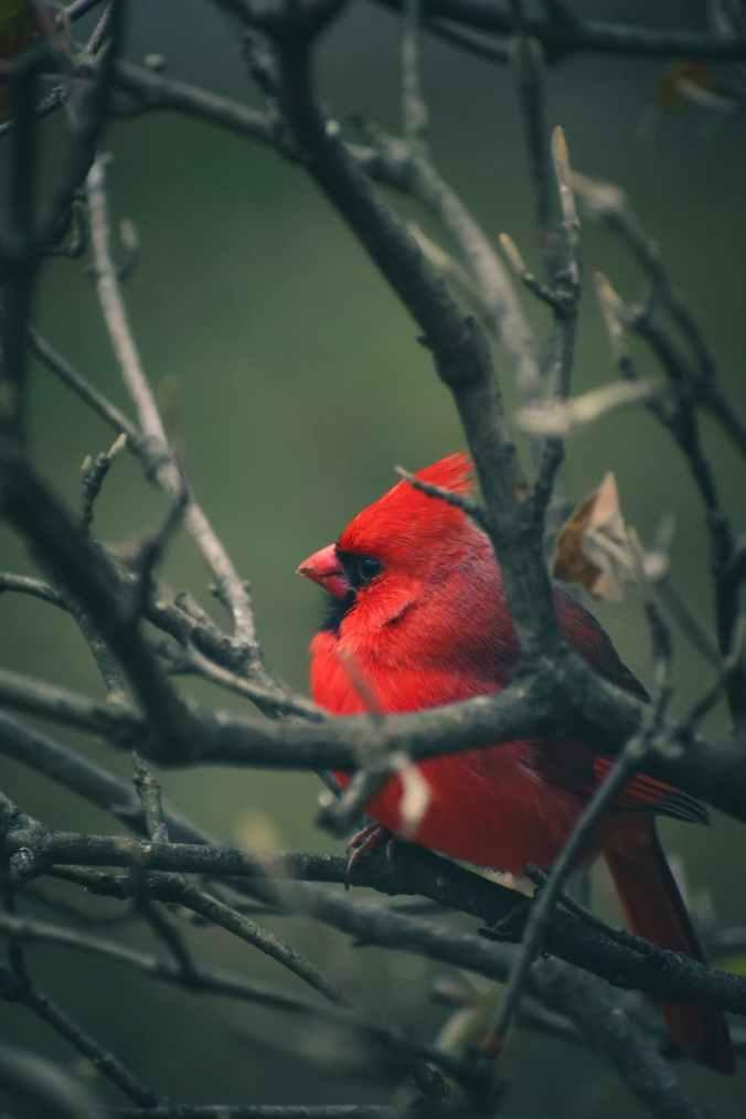 northern cardinal on tree branch