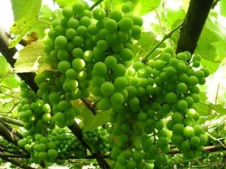 Сонник толкование снов гронки виноград