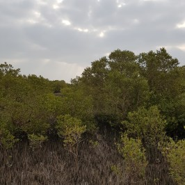 Mangrove_10