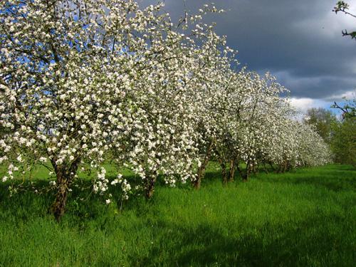 allee-des-pommiers-en-fleurs