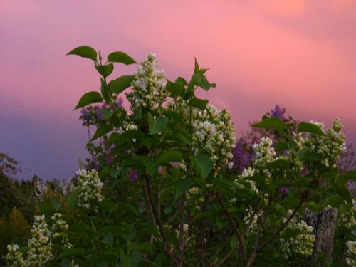 Le lilas jaune du jardin. Edith Carvell de Lemoine.