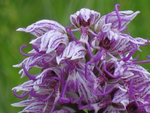 Détail des fleurs caractéristiques de l'orchis simia (spectaculaire priapisme)