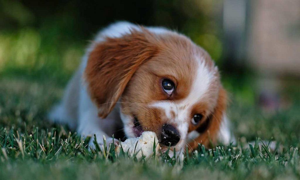 Hühner Knochen Gefährlich Für Hunde