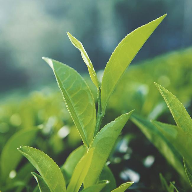 Can green tea help you lose belly fat