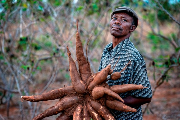 Enhance Food Sufficiency with Cassava Cultivation