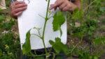 Если лоза винограда не вызрела что делать советы помощь