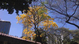 Tabebuia ochraceae