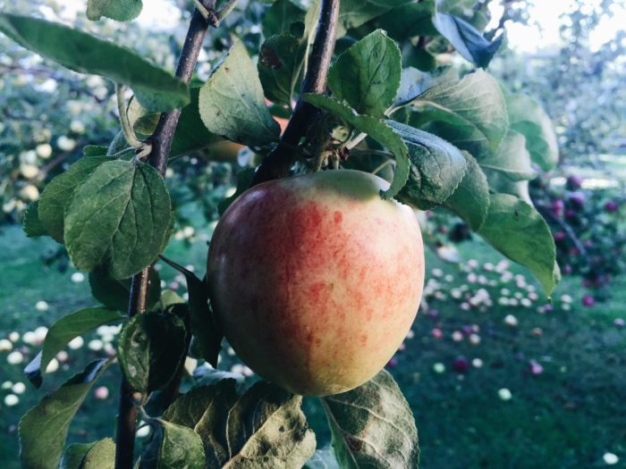 apple tree home
