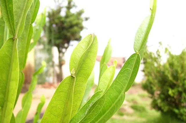 O chá carqueja é um dos chás indicados para secar barriga