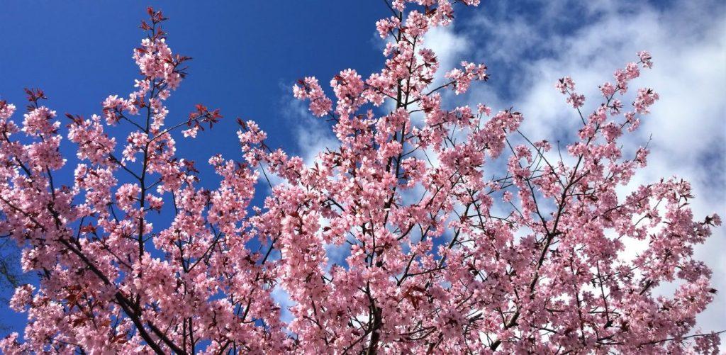 Gyeongju Cherry Blossom Festival in Korea