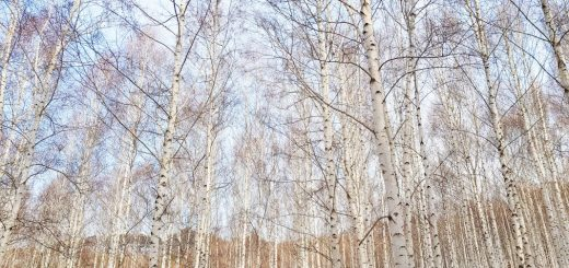 birch tree forest in winter in korea