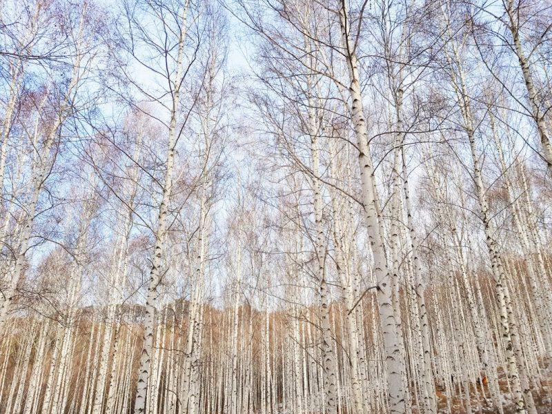 birch tree forest in winter in korea