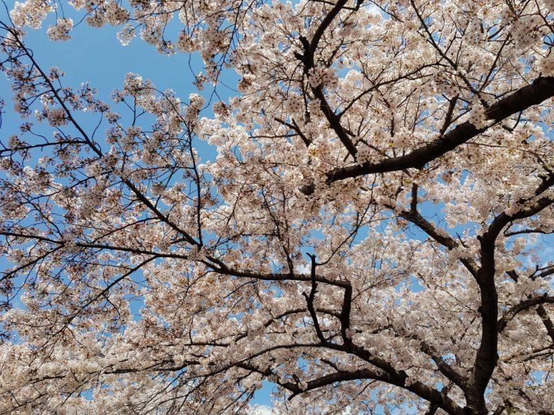 cherry blossom festival seoul