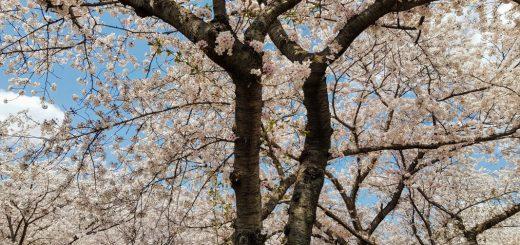 seoul in spring