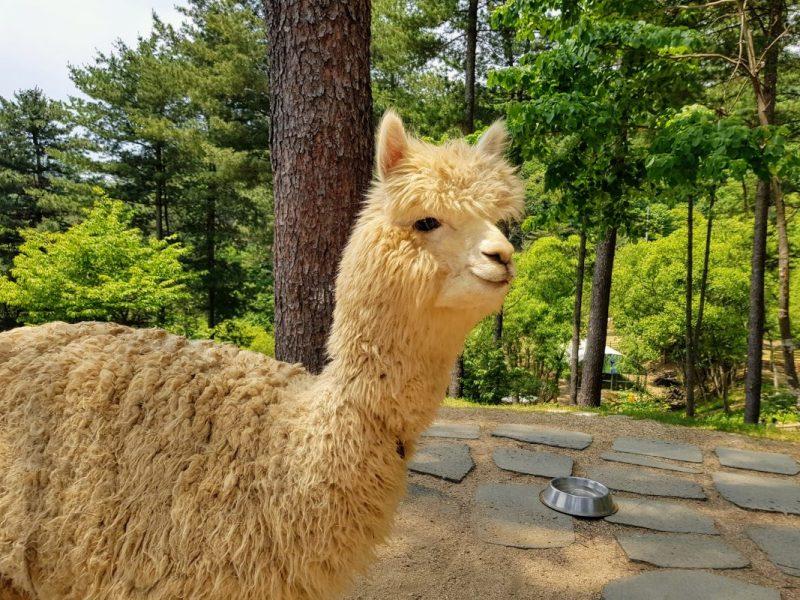 Alpaca World Korea