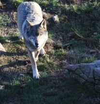 Repéré par le loup