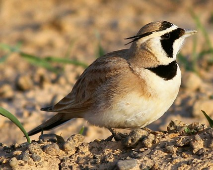 Temmick's Lark - a small brown bird with a light white belly and black patches across its face.