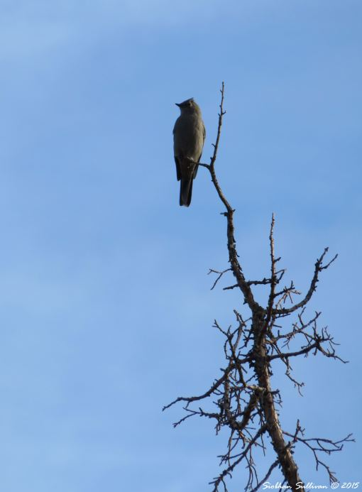 Townsend's Solitaire in Bend, Oregon  October 2015