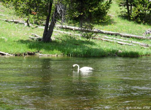 Swan song Trumpeter Swan, Yellowstone National Park, Wyoming