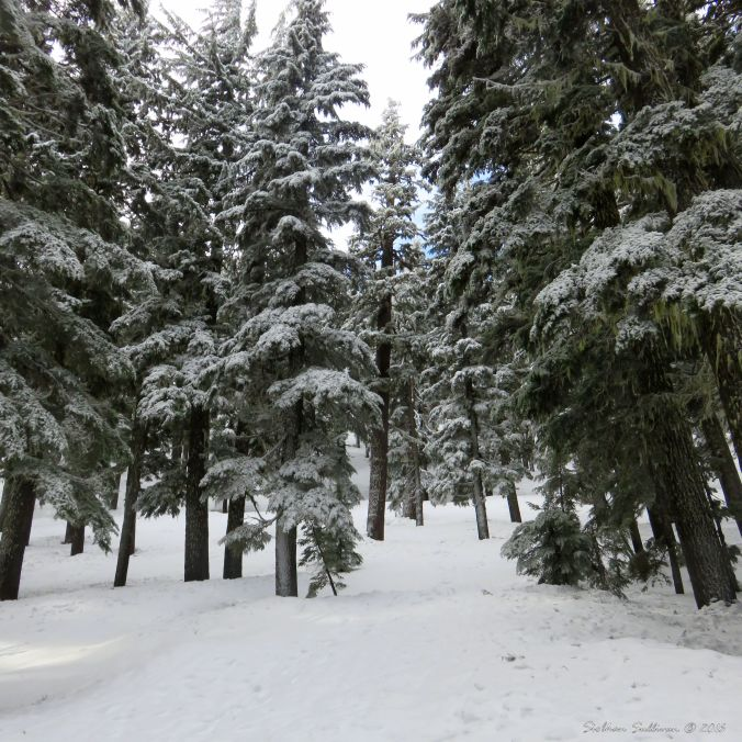 A snowy Mountain Hemlock forest