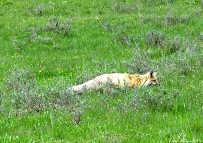 Red Fox at Yellowstone National Park, WY