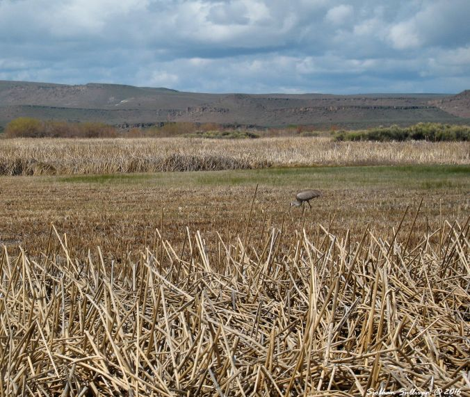 Sandhill Crane at Malheur NWR, OR