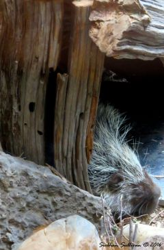 North American porcupine at High Desert Museum, OR