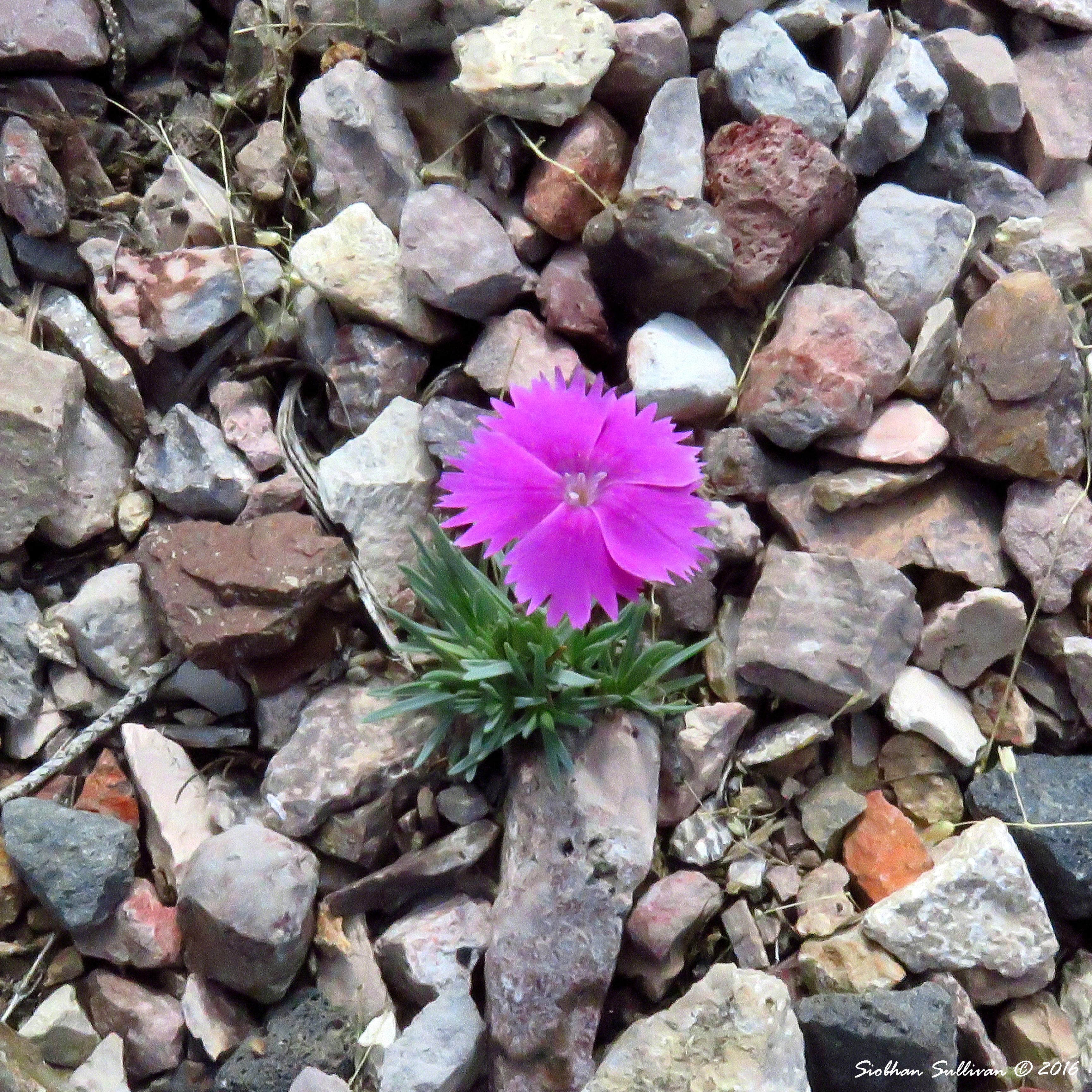Carnation, Dianthus sp.