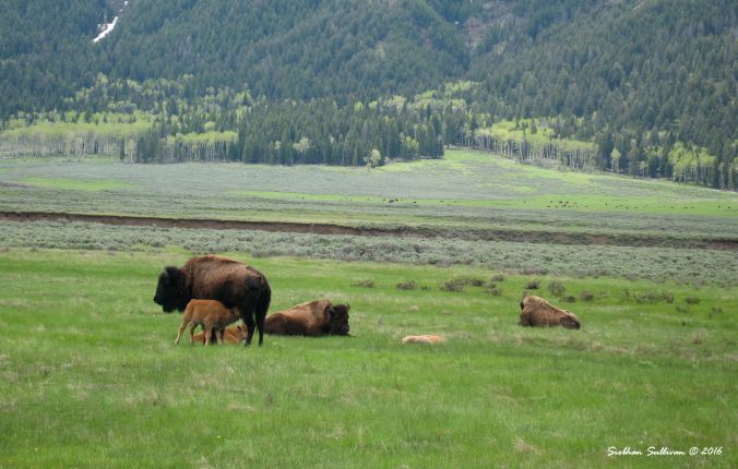 Bison in Yellowstone National Park 13 June 2011
