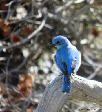 Mountain bluebird 3June2015