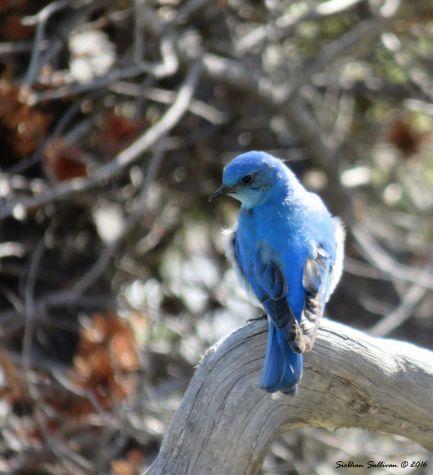 Mountain bluebird 3June2015