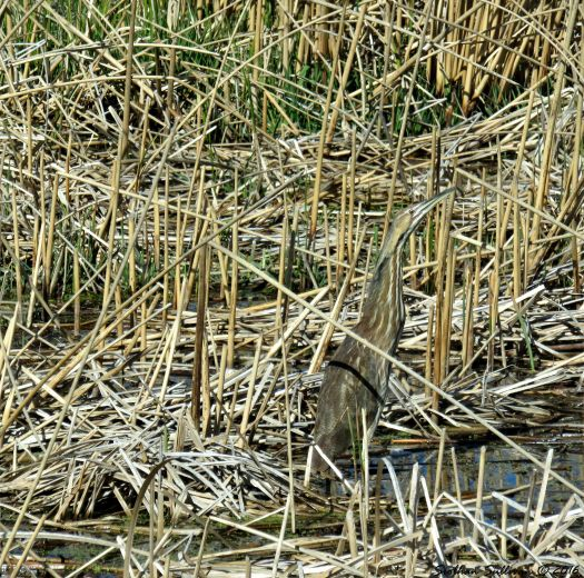 Can you see me? American Bittern, Botaurus lentiginosus 8April2016