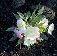 Tufted evening primrose, Oenothera caespitosa