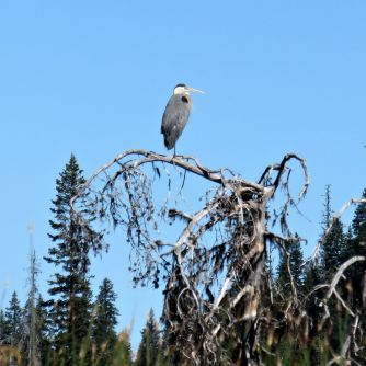 Great blue heron, Ardea herodias 10Aug2016