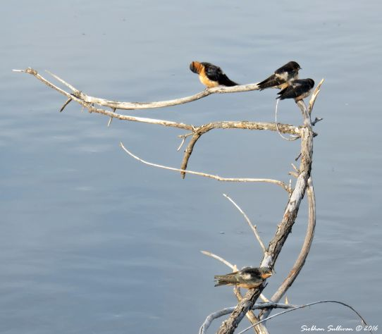 Young swallows in Bend, Oregon 14 August 2016