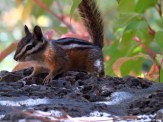Chipmunk, Bend, Oregon 27Sept2016