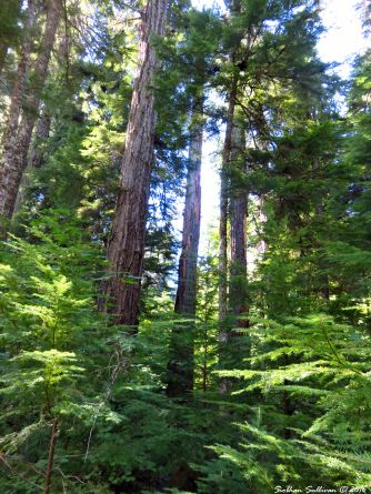 Mature forests along the McKenzie River Trail 15Sept2016