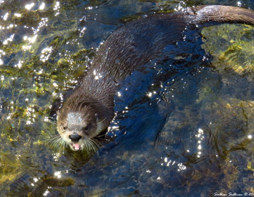 Otter joy. North American River Otter 24Sept2016