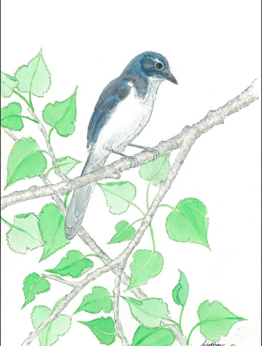 giving art wings Woodhouse's scrub jay Aphelocoma woodhouseii by Siobhan Sullivan Nov 2016