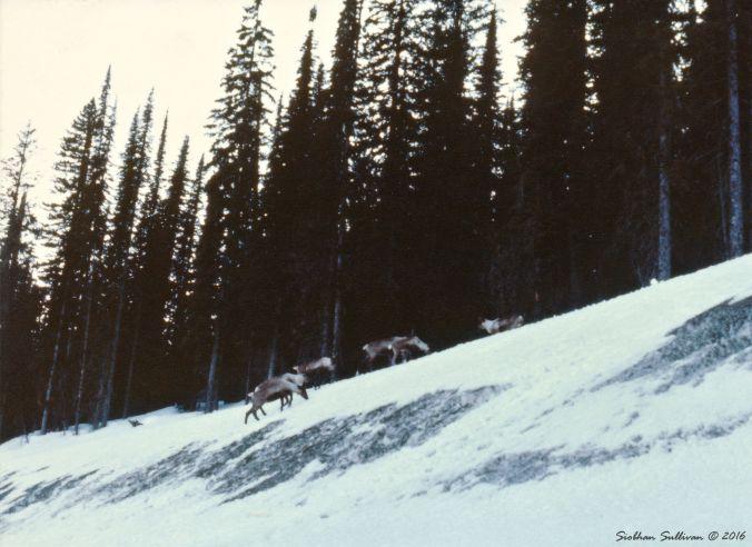 Selkirk caribou, Creston, B.C.