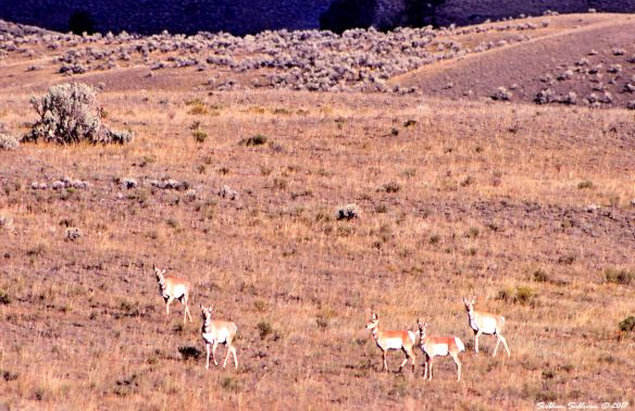 Pronghorn at Yellowstone