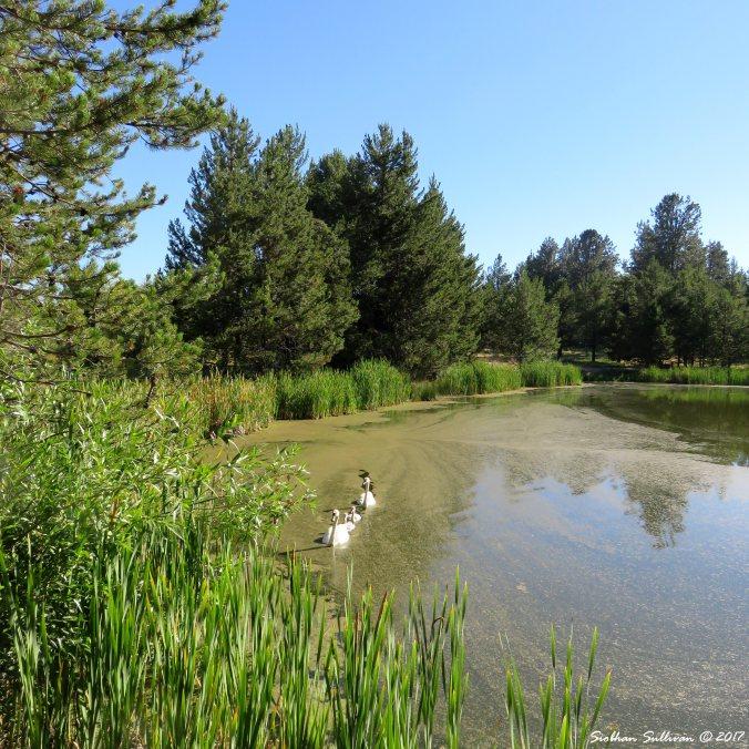 Swans at Sunriver Nature Center 15July2016