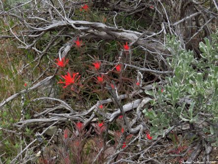 Wildflowers Otter Bench hike, Crooked River, Oregon 17April2017