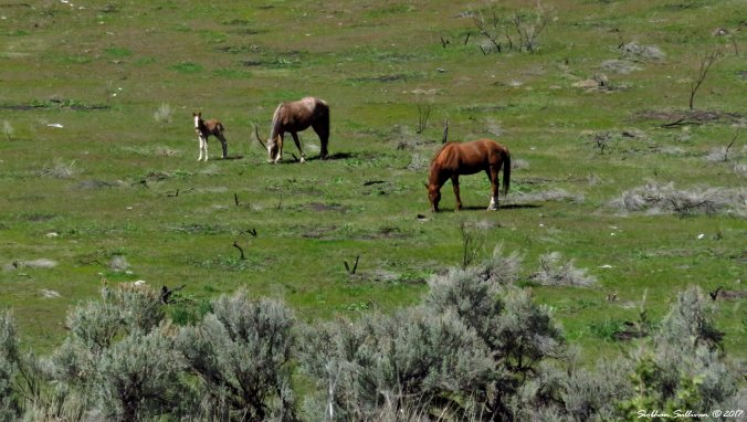 Horse family northwest of Madras, Oregon 3Apr2017