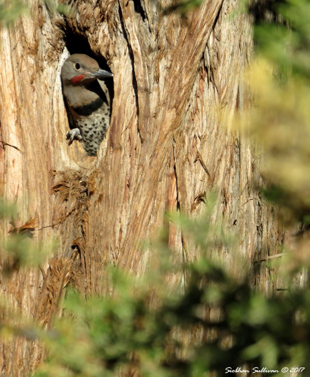 Northern flicker in western juniper nest 19June2017